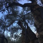 garden-of-gethsemane-olive-trees-and-sky