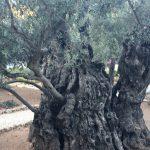 garden-of-gethsemane-old-olive-tree